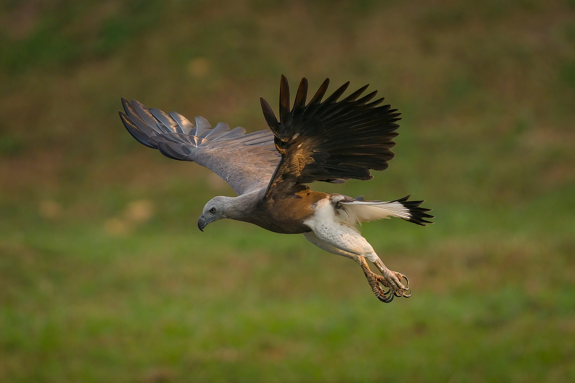 Sony Alpha 7R IV's burst shooting speed of up to approx. 68 images nails the perfect shot of flying Grey-Headed Fish Eagle.