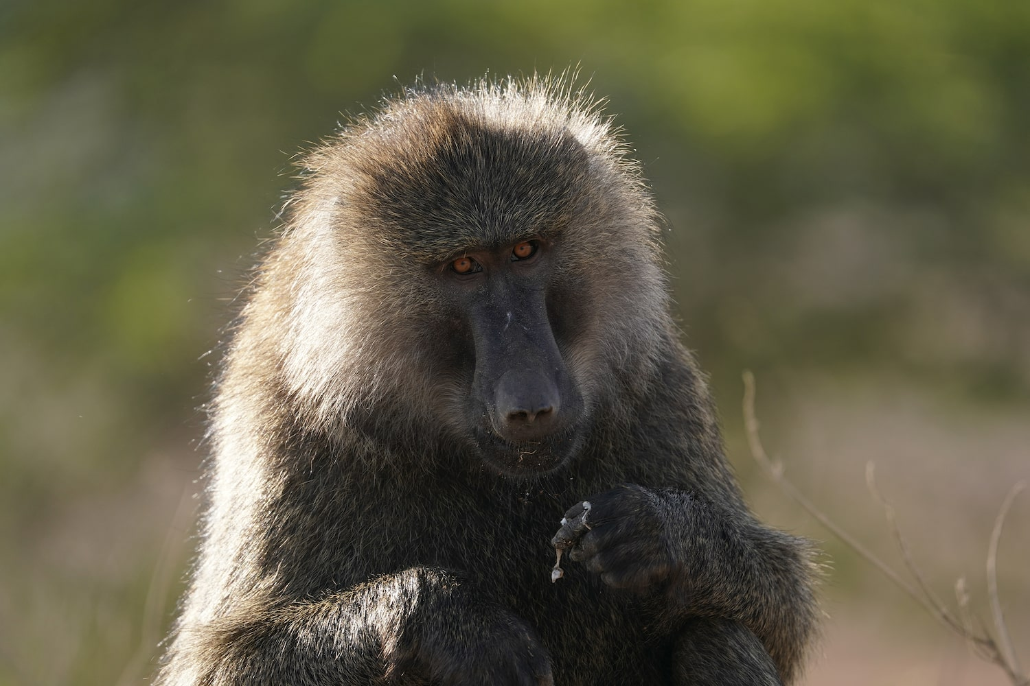 portrait-of-monkey-looking-in-camera-alpha-7III
