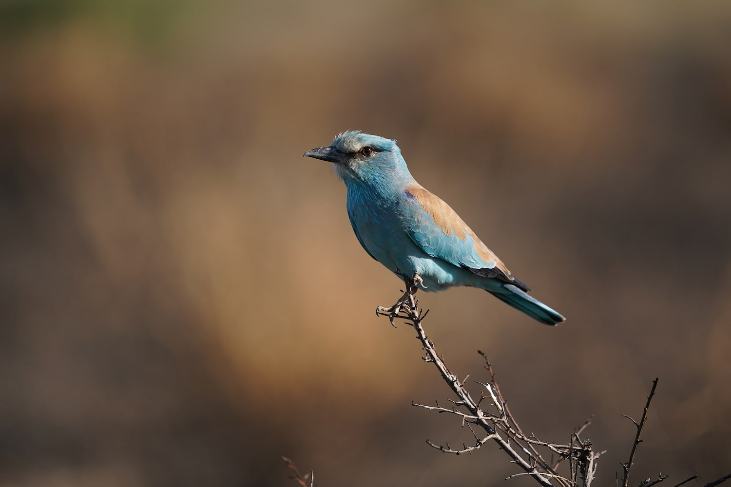 tiny-blue-orange-bird-perched-alpha-7III