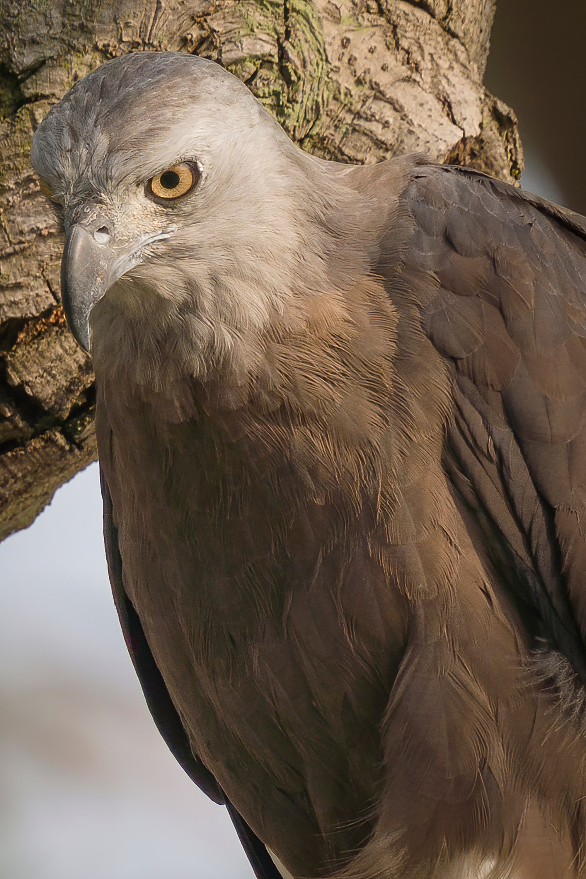 Sony Alpha 7R IV's Real-time Eye Tracking with animal eye locks on Grey-Headed Fish Eagle on branch.
