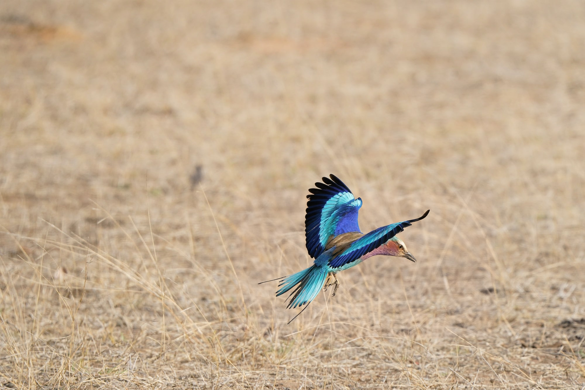 Lilac-breaster roller in flight