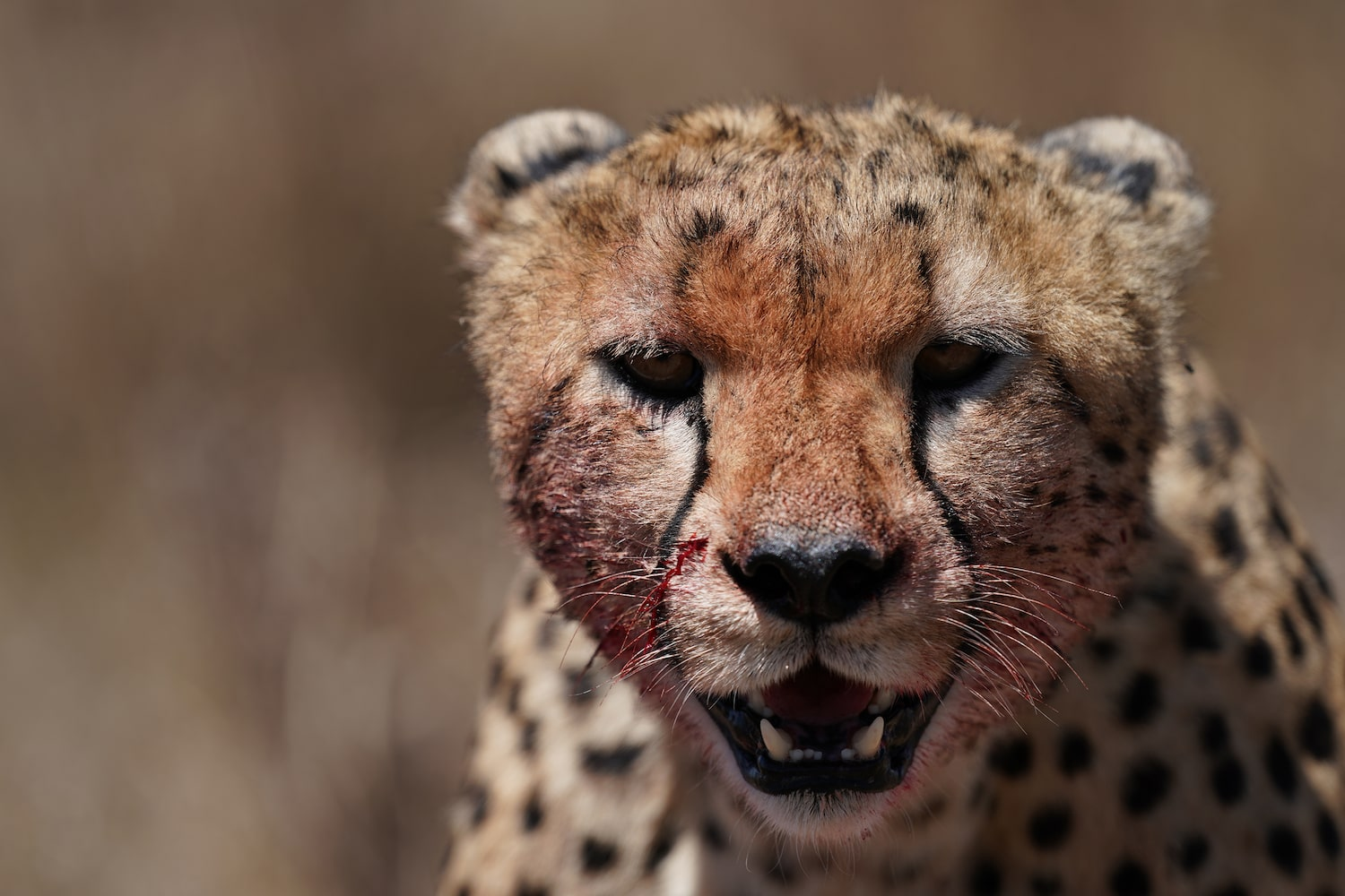 face-shot-cheetah-alpha-9
