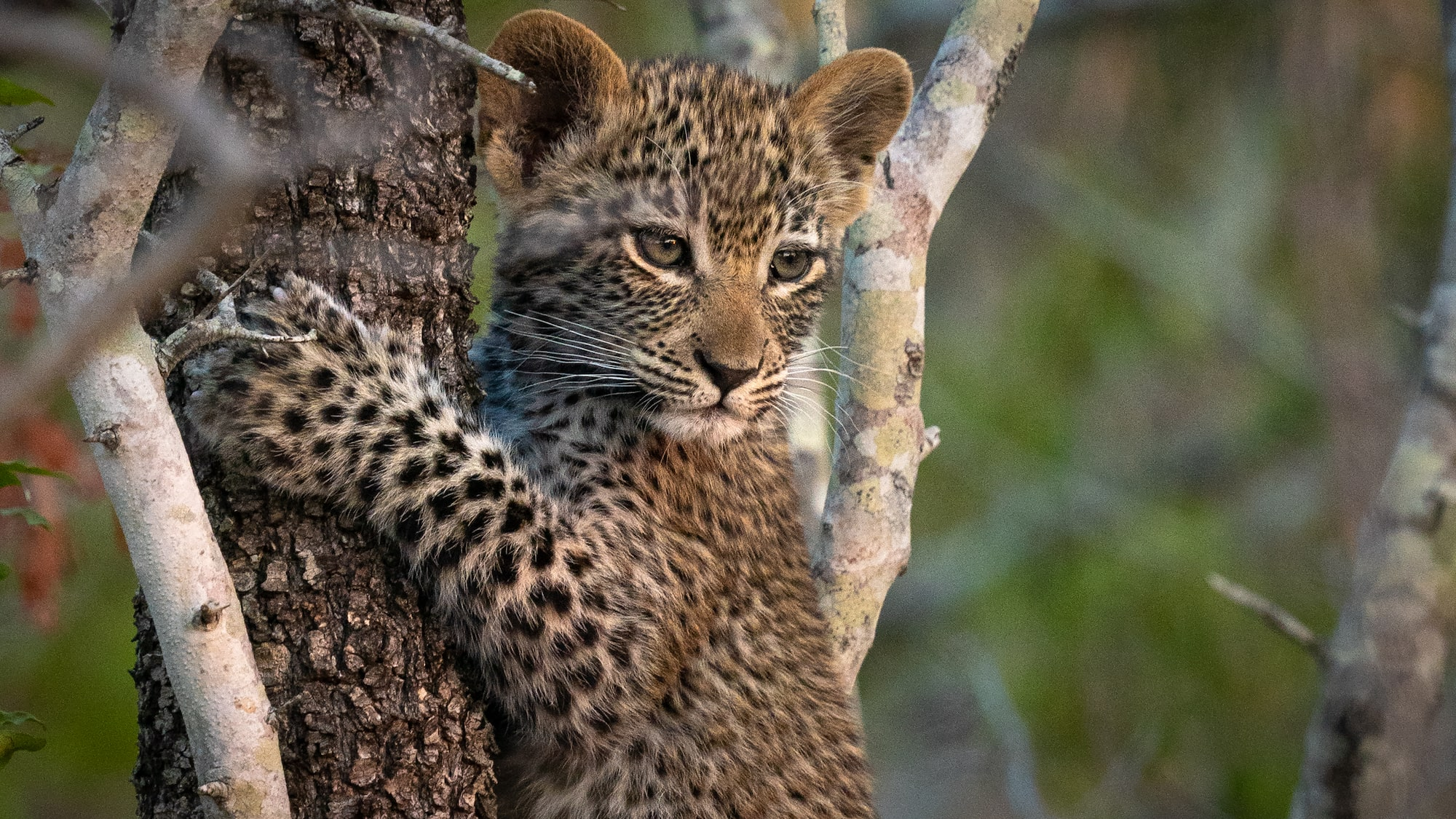 Leopard cub in a tree
