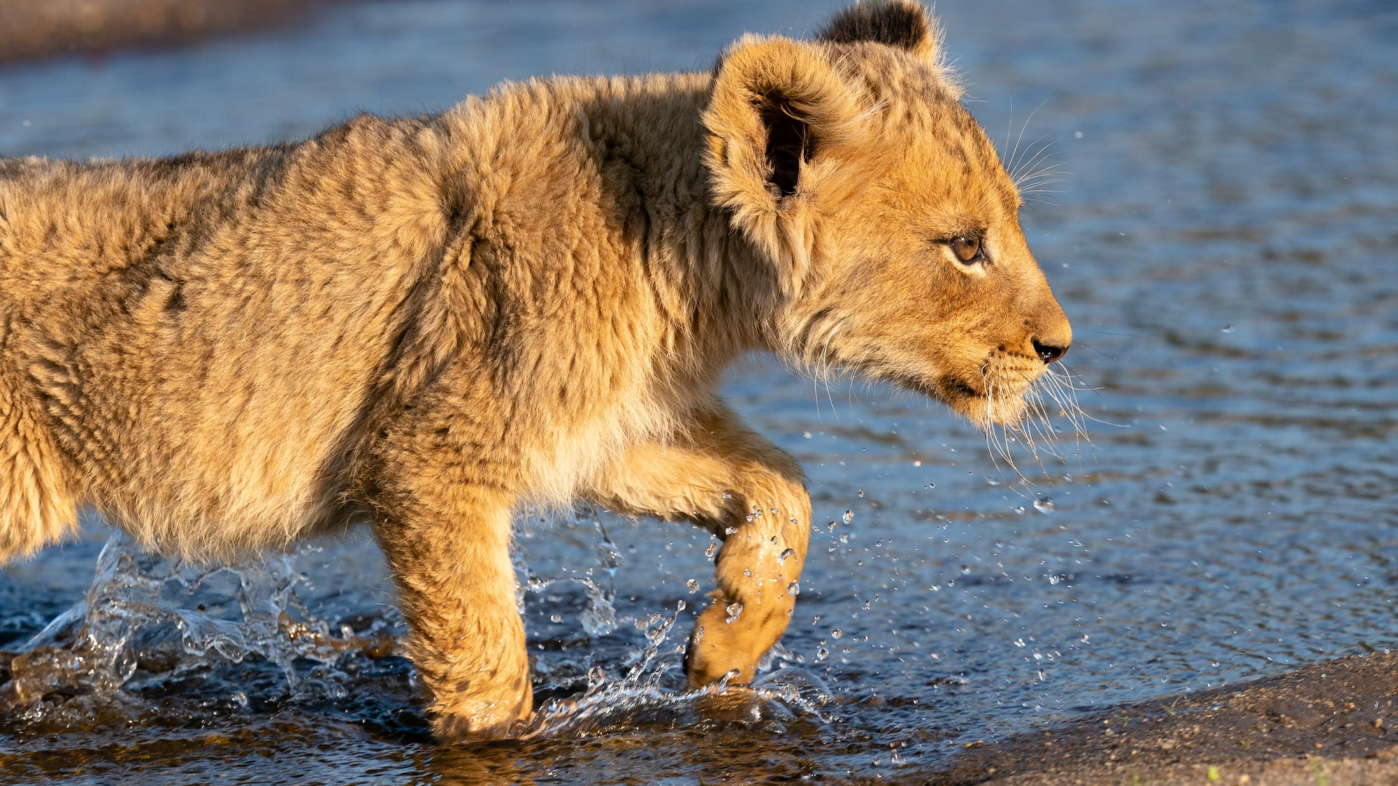 Lion cub in shallow water