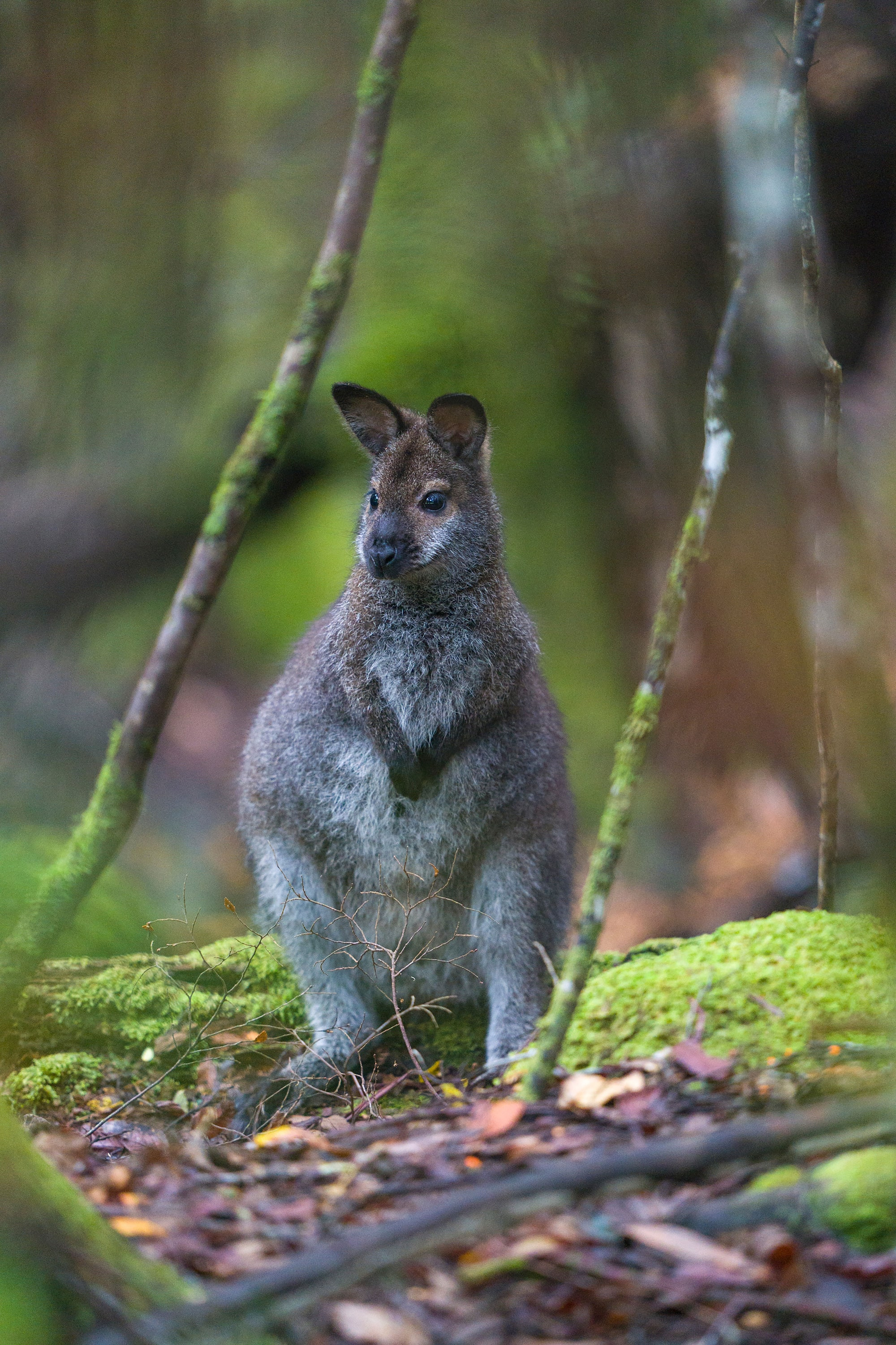 Joey spotted in Tasmania